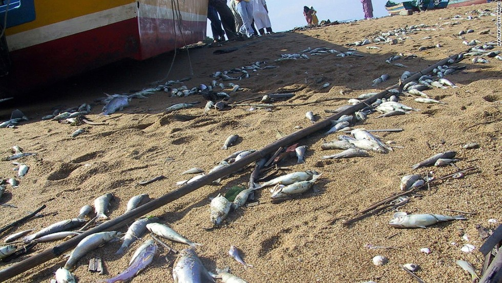 Dead fish are strewn across a beach in Penang, a day after an earthquake-triggered tidal waves that lashed the Malaysian coast. In a report published in January 2005, Malaysians were urged to ignore rumors that fish were tainted by feeding on corpses after the disaster.