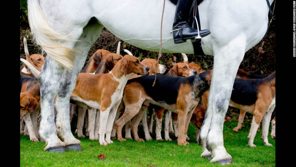 Foxhounds gather in Essex, England, for the start of the traditional Boxing Day hunt on Friday, December 26.