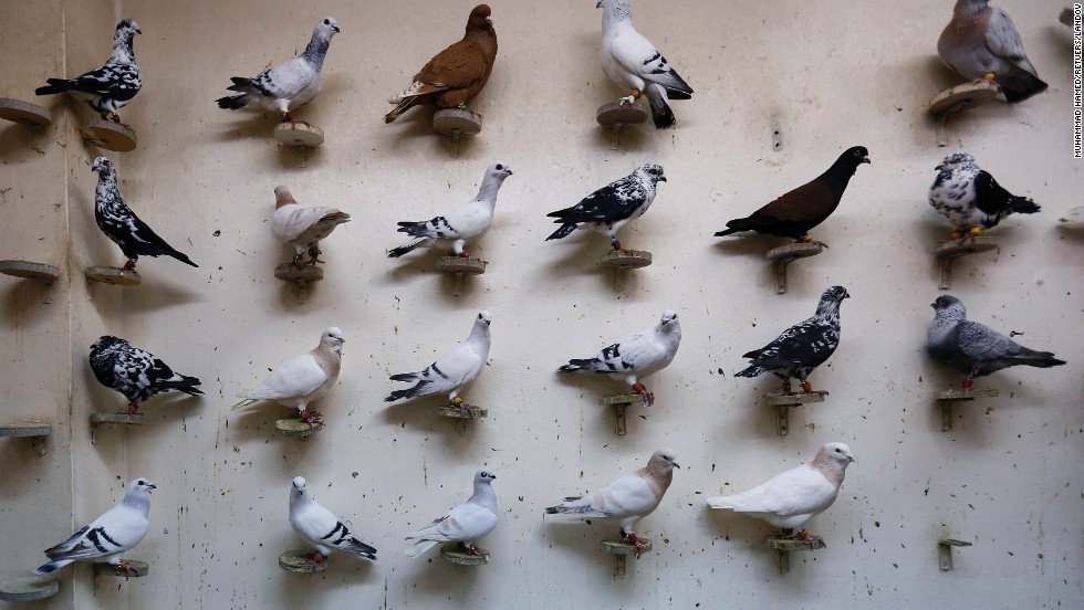 Pigeons are displayed for sale at a pigeon cafe in Amman, Jordan, on Saturday, December 27. Pigeon racing has turned into a booming business in the capital city.