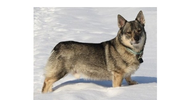 A mutation causing blindness has been found in the Swedish Vallhund, a rare breed.