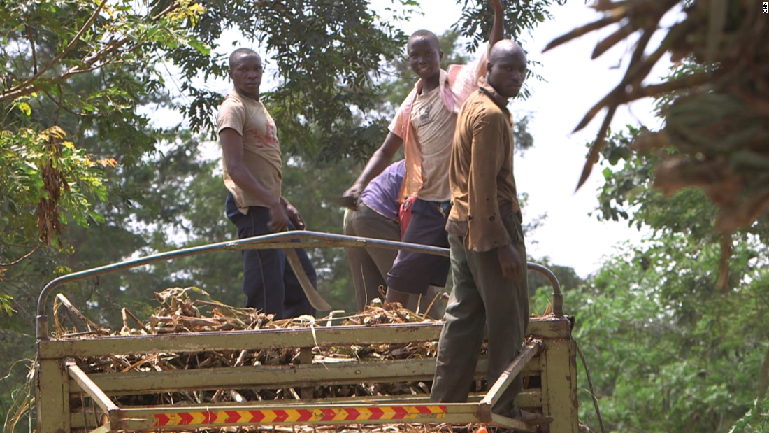 Farmhands stand atop a truck as they pile on sugar cane.