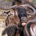 ugly safari wildebeests
