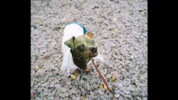 """Mugly, a Chinese crested named the """"World's Ugliest Dog"""" in 2012, is dressed as the Incredible Hulk."""