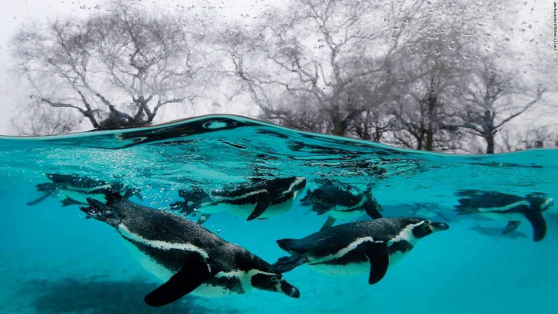 Penguins swim in their pool at the London Zoo on Monday, January 5.