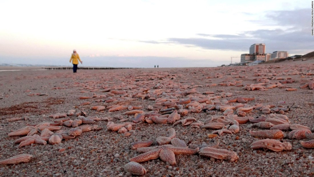 Dead starfish lie on the beach of Westerland on the North Sea island of Sylt, Germany, on Wednesday, January 7. An official said the starfish were brought onto shore by strong storms.