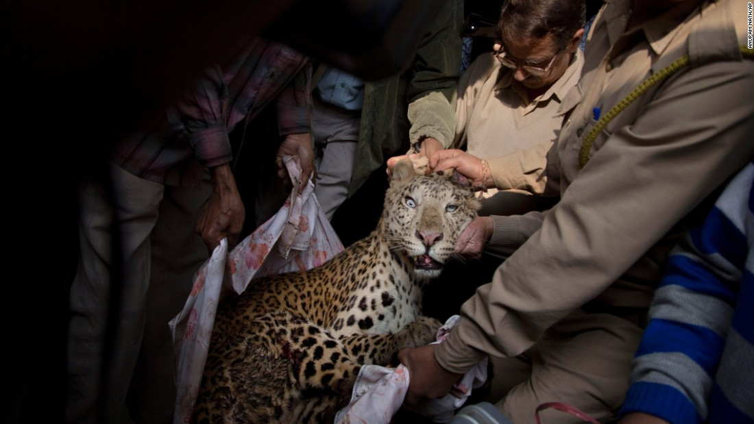 Forest officials carry an injured leopard after it was tranquilized at a building in Gauhati, India, on Wednesday, January 7. He was later taken to the state zoological park. According to a veterinarian, the leopard was seriously injured by an iron cable. Because of habitat loss, leopards sometimes enter populated areas in search of food.