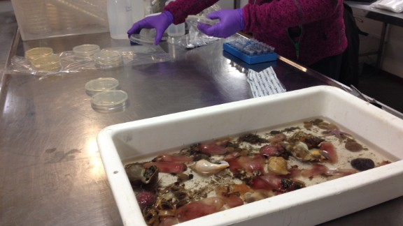 The deep-sea creatures are cut open and plated on a petri dish. In a few weeks, bacteria will grow on the plates, hopefully exhibiting antibacterial properties.