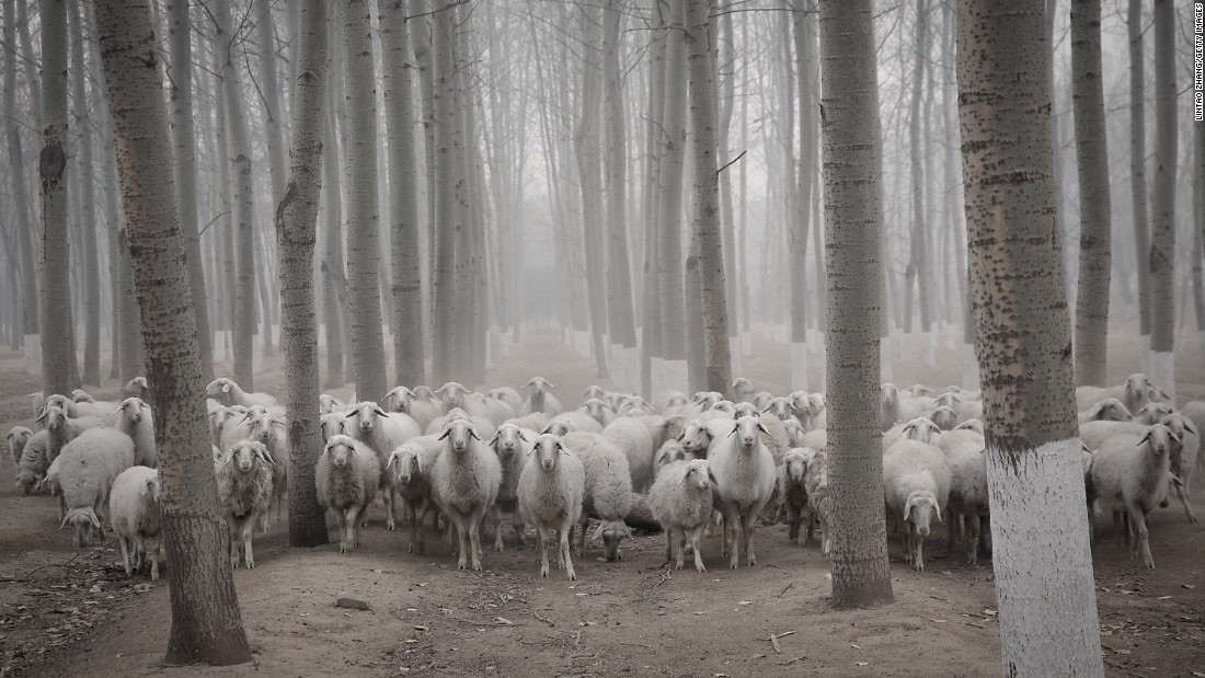 A flock of sheep walks in a hazy Beijing suburb on Thursday, January 15.
