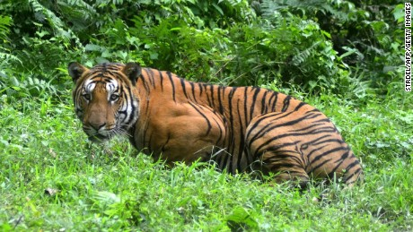 In this photograph taken on December 21, 2014, a Royal Bengal Tiger pauses in a jungle clearing in Kaziranga National Park, some 280kms east of Guwahati.
