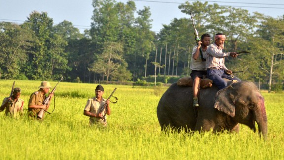 Indian forest officials take part in a search operation for a tiger with the aid of a Kumki elephant in a paddy field at Bhumuraguri in Nagaon, some of 180 kms east of Guwahati on November 9, 2014.