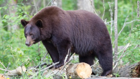 Official: There's no way to know how much a bear, such as this one, will consume at a bait site.