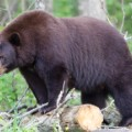 black bear file