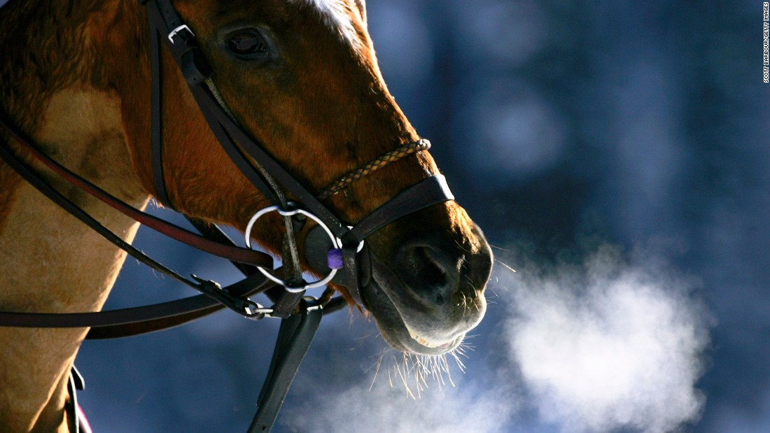 Each horse wears specialist hooves designed to increase traction on the frozen surface and keep snow from building up.
