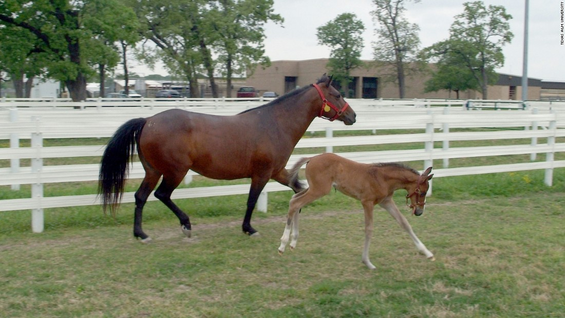 The foal on the right, seen in 2005, was the first to be cloned in North America under the guidance of Dr Katrin Hinrichs, of Texas A&M University.