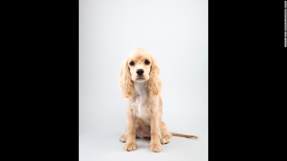 "Cocker spaniel Drew Carey, 12 weeks, loves to bid $1 on ""The Price is Right."" Puppy Bowl fans are invited to draft their own teams for this year's <a href=""http://www.animalplanet.com/tv-shows/puppy-bowl/games-and-more/puppy-bowl-fantasy-game/"" target=""_blank"">Puppy Bowl Fantasy Game</a>."