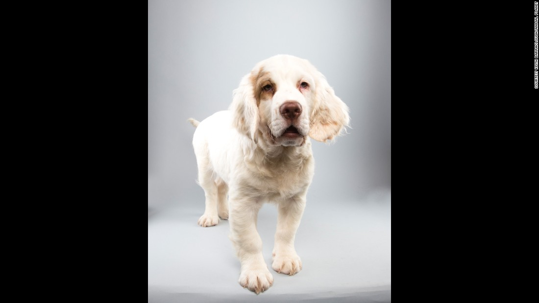 Falcor, a 14½-week-old Clumber spaniel, is playing for Team Ruff in the big game. Katty Furry will star in the kitty-packed halftime show.