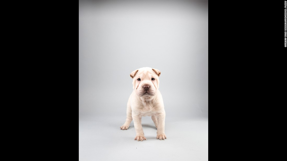 Stocky Shar Pei Lewis, 12 weeks, is a Team Ruff starter.