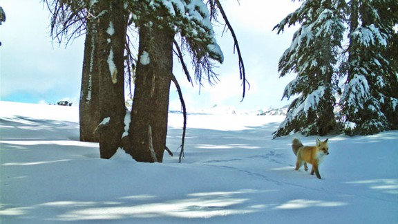 It's the first confirmed sighting of the fox in Yosemite National Park in nearly 100 years.