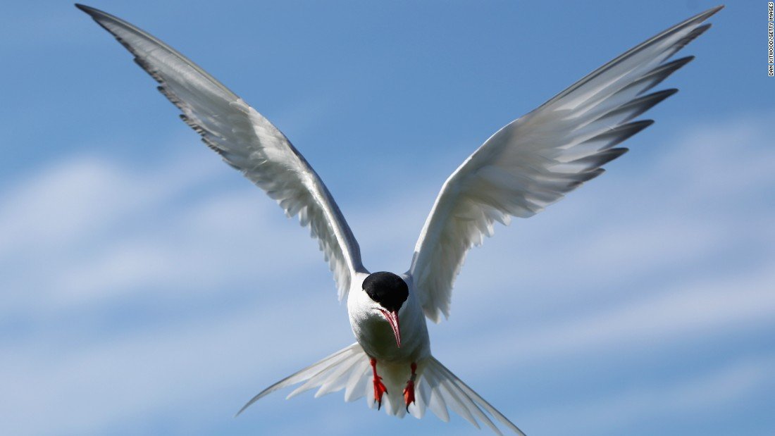 "Arctic terns hold the record for the longest annual migration recorded by any animal. Moving between Greenland and Antarctica in a zig-zag route, the bird covers 44,000 miles a year. With an average lifespan of 30 years, this means the arctic tern would cover around 1.3 million miles in its lifetime -- the equivalent to going to the moon and back three times.<br />But climate change may be forcing Arctic terns further north to breed. Due to fatigue, <a href=""http://www.actazool.org/temp/%7B4792640D-DD22-47E6-B9FE-30E18E93A9B3%7D.pdf"" target=""_blank"">many more birds are dying along the way</a>."