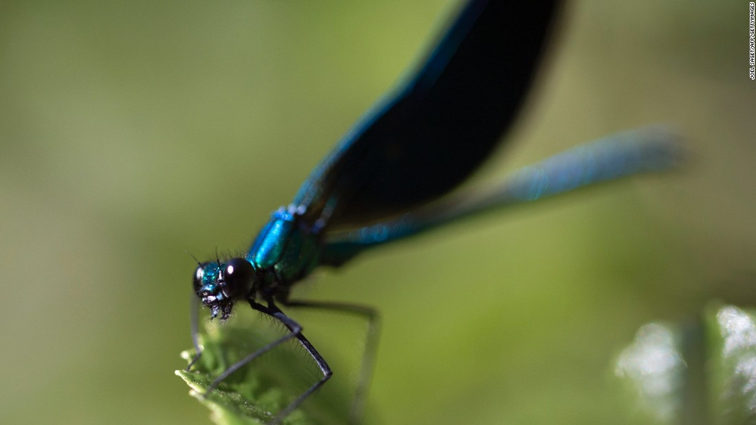 "<a href=""http://journals.cambridge.org/action/displayAbstract?fromPage=online&aid=5645072"" target=""_blank"">Biologist Charles Anderson </a>believes that certain dragonfly species travel between Southern India and Southern Africa every year, stopping in the Maldives and skirting the East African coast along the way. If he is correct, the migration, a round trip of 8,000-11,000 miles, is<a href=""http://journals.plos.org/plosone/article?id=10.1371/journal.pone.0052594"" target=""_blank""> the longest by any insect </a>and all the more remarkable considering the lack of fresh water available."
