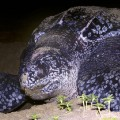 animal migration - leatherback turtle