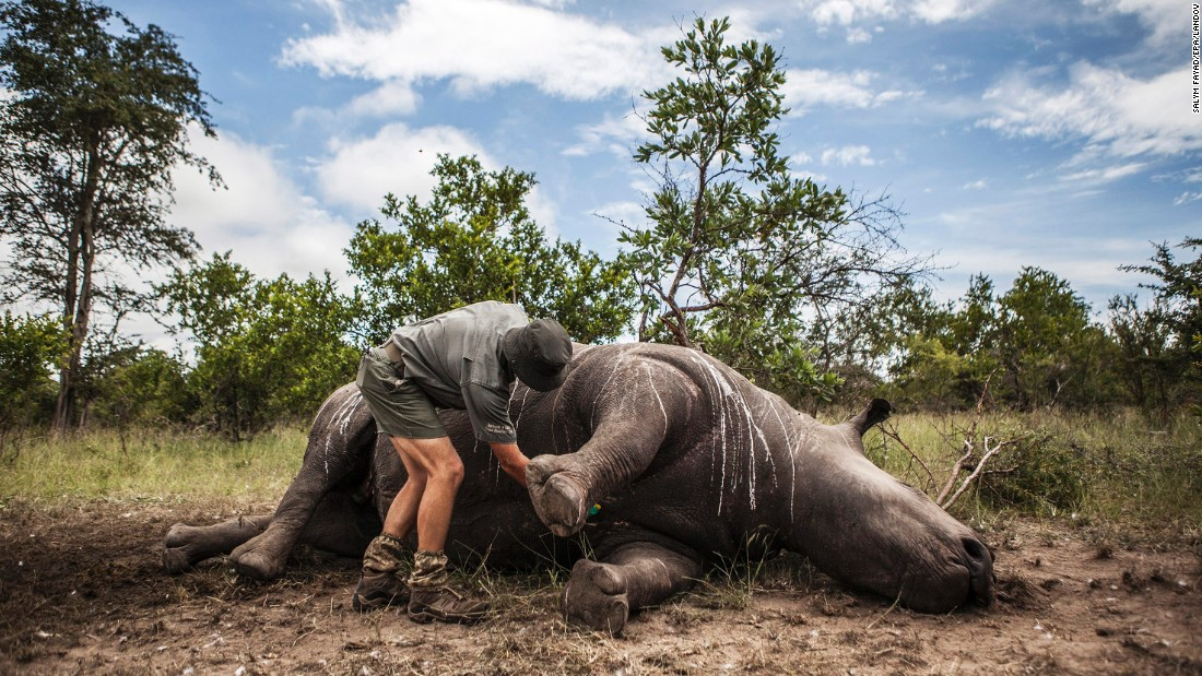 Frikkie Rossouw prepares a rhino's carcass for an autopsy Wednesday, February 4, in South Africa's Kruger National Park. It is suspected that the rhino was shot for its horn. At least 41 rhinos this year have been killed at the park for their horn.