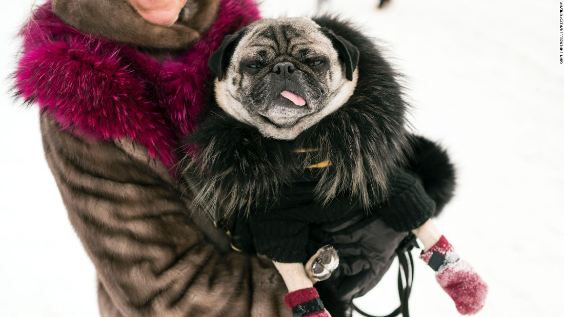 A pug named Charlie wears a coat and cashmere sweater Friday, January 30, during the Snow Polo World Cup in St. Moritz, Switzerland.