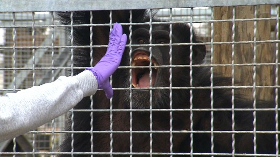 Research chimps are trained to open their mouths for medical exams.