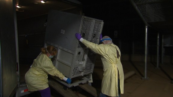 Roxanne, a 24-year-old research chimpanzee, clutches the bars of a transport cage. She was transferred to Chimp Haven from a laboratory.