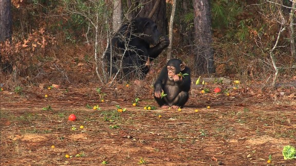 Some 50 chimps rotate through Chimp Haven