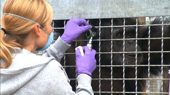 Research chimpanzees are kept at laboratories and holding facilities.