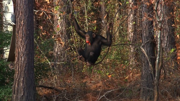 At Chimp Haven, chimpanzees have the chance to play in forests that cover several acres.