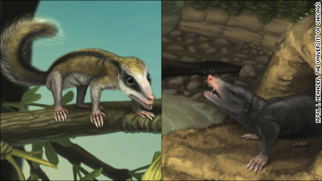 This is an illustration of Agilodocodon and Docofossor. The skeletal features of Agilodocodon, left, suggeset it was an agile and active arboreal animal. The skeletal features of Docofossor, right, suggest it lived in burrows and fed on worms and insects.