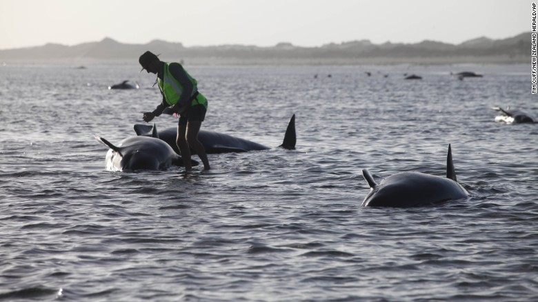 170 whales stranded on New Zealand beach