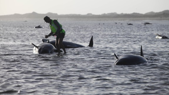 A Department of Conservation worker tends to a whale stranded on Farewell Spit, a famous spot for whale beachings, in Golden Bay, New Zealand on Friday, February 13.