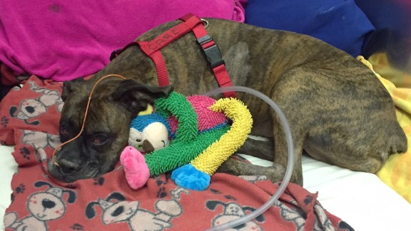 Carmen, a 9-year-old boxer, tried to save her owner last week during a house fire. Her owner died, and Carmen is now fighting for her life but improving, at a critical care hospital in Cincinnati.