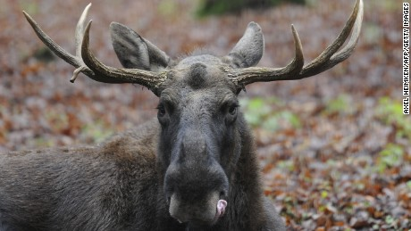 A moose (Alces alces) licks its lips at 'Schwarze Berge' animal park, south of Hamburg, in Rosengarten,�on December 4, 2012.