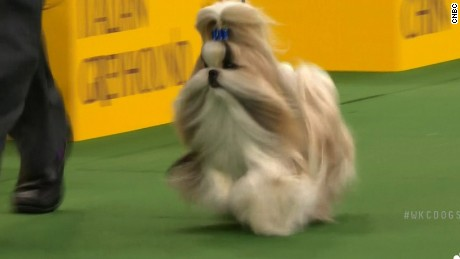 Patty Hearst's dog a finalist in Westminster show