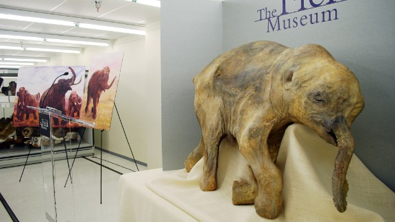 The best preserved examples of DNA have come from frozen environments. The baby mammoth 'Lyuba' died 41,800 years ago and was discovered in 2007. So far, scientists have extracted and sequenced the genome of a 110,000-year-old polar bear and more recently a 700,000-year-old horse.