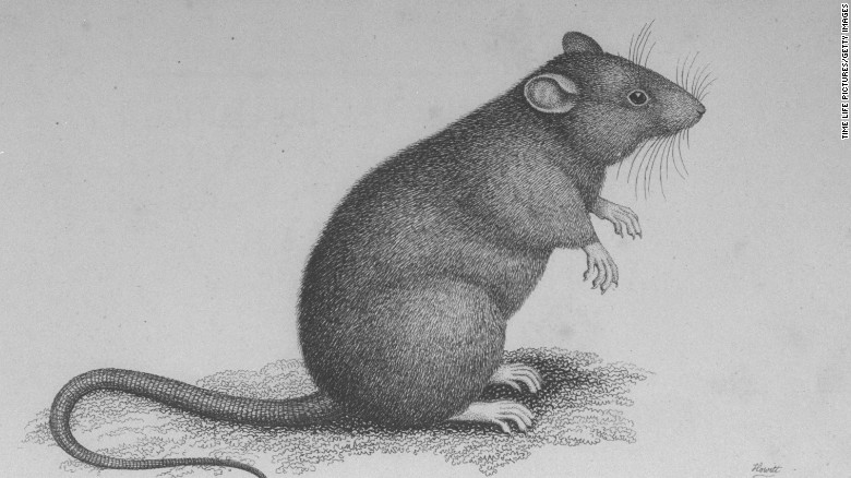 Rats may be exonerated as black plague culprit