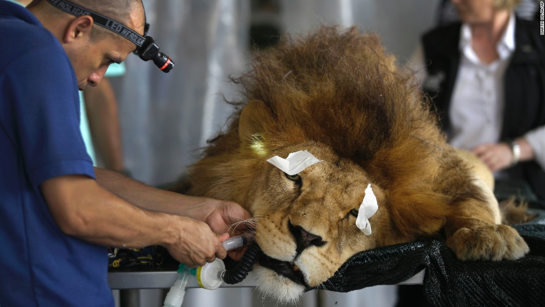 "A veterinarian performs dental surgery on a sedated former circus lion, ""King,"" in Lima, Peru, on Friday, February 20. According to the vets, King was removed from a circus in November 2014 and is unable to chew his food properly because most of his teeth were pulled out or partially pulled out by his circus owners."