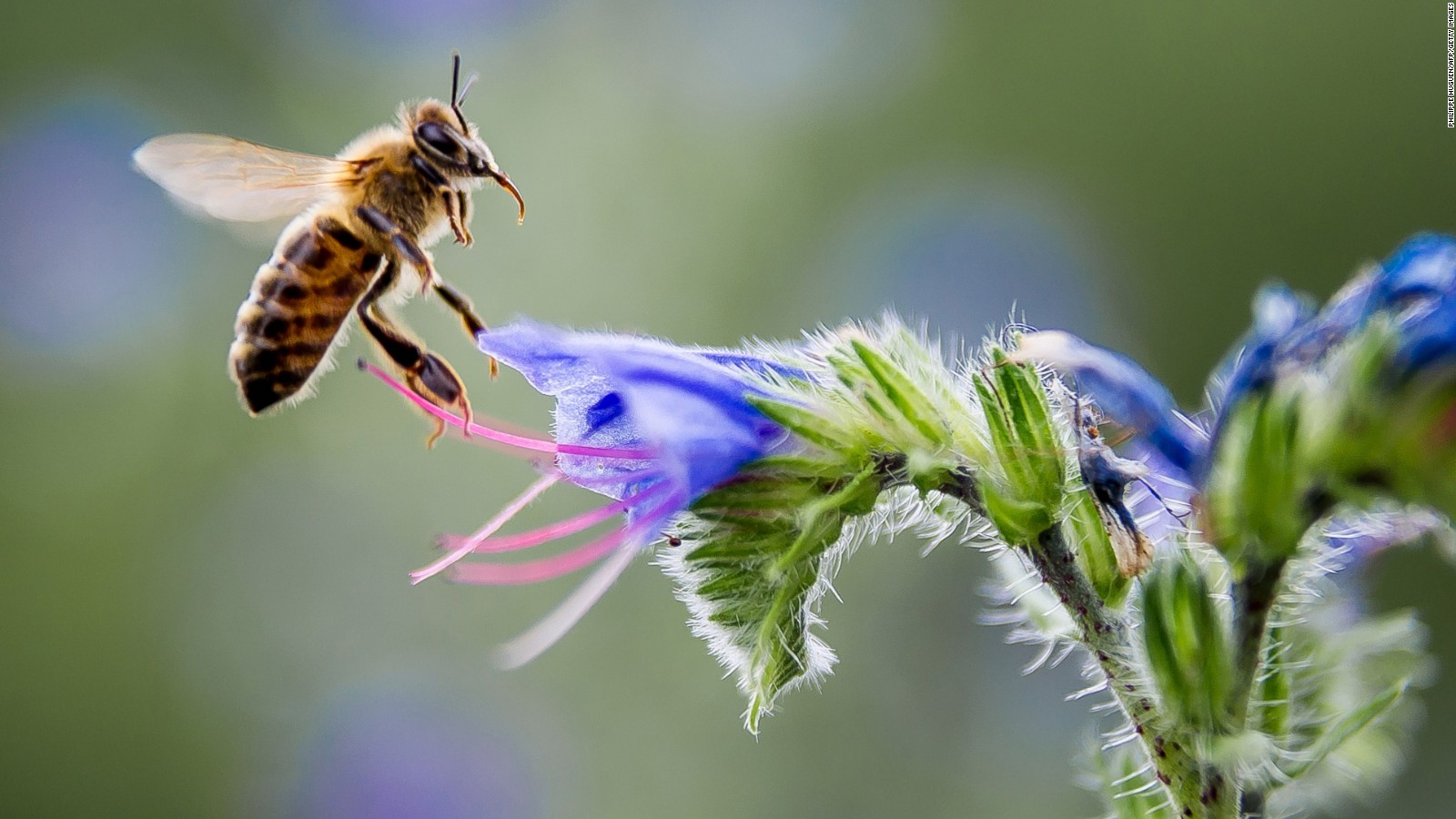 Animal Pollinators are Dying Out