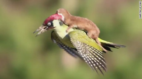 Weasel rides woodpecker; Internet goes crazy
