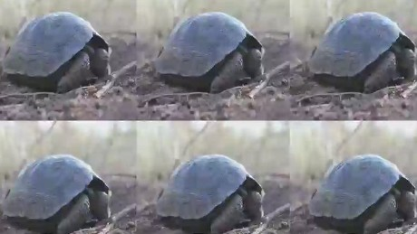 New hope for Galapagos Tortoises