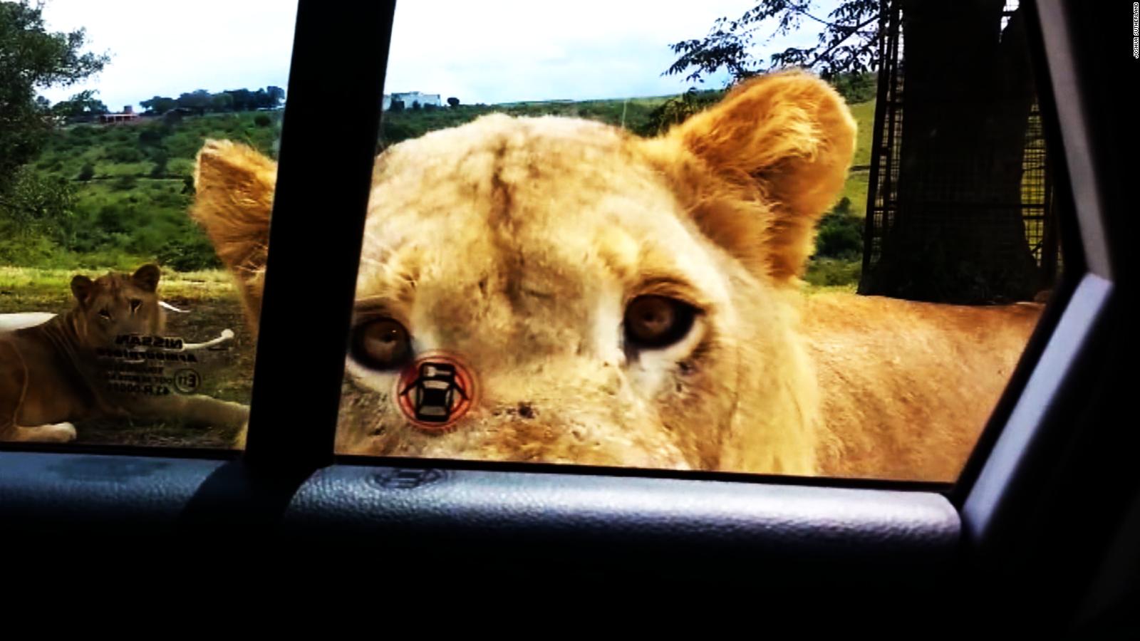 Lion Opens Car Door, Terrifies Family   CNN Video