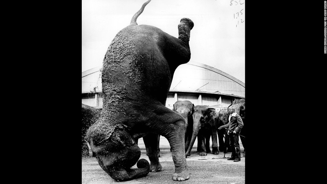 Elephants work out and train in 1971.