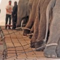 12 ringling elephants RESTRICTED