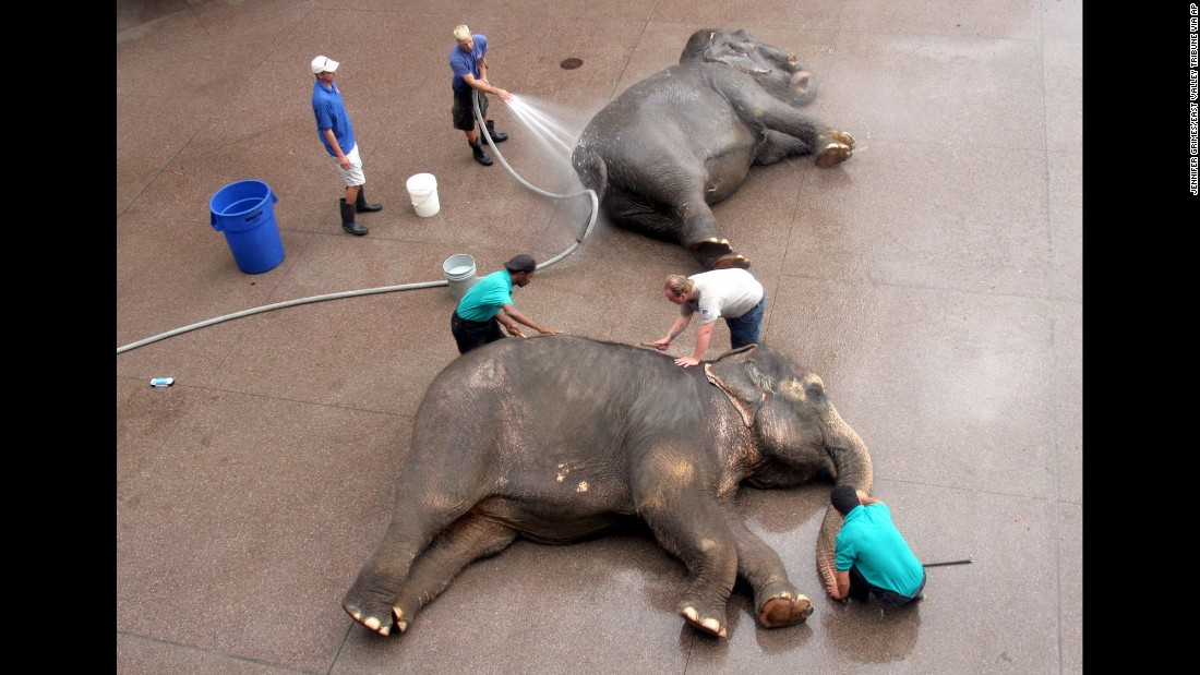 Animal handlers bathe and brush two elephants in Phoenix in July 2006.