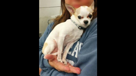 The Transportation Security Administration found this adorable Chihuahua in a passenger's checked luggage at LaGuardia Airport in Queens, New York, on Tuesday, March 3.