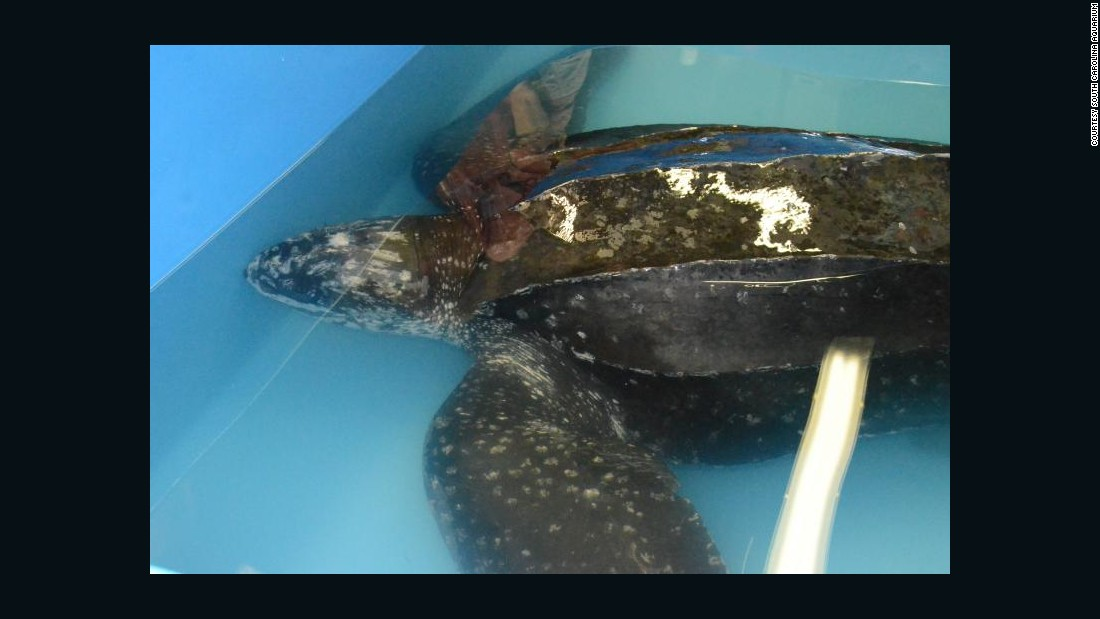 The aquarium is working with the South Carolina Department of Natural Resources to determine the best time and place to release the turtle back into the ocean. The release will likely happen within the next few days.<br />